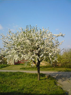 English: Blooming sour cherry tree Српски / Sr...