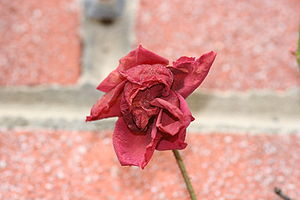 English: A dried rose.