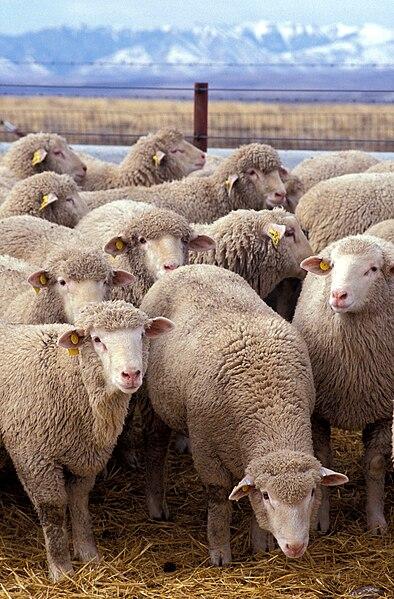Tập tin:Flock of sheep.jpg