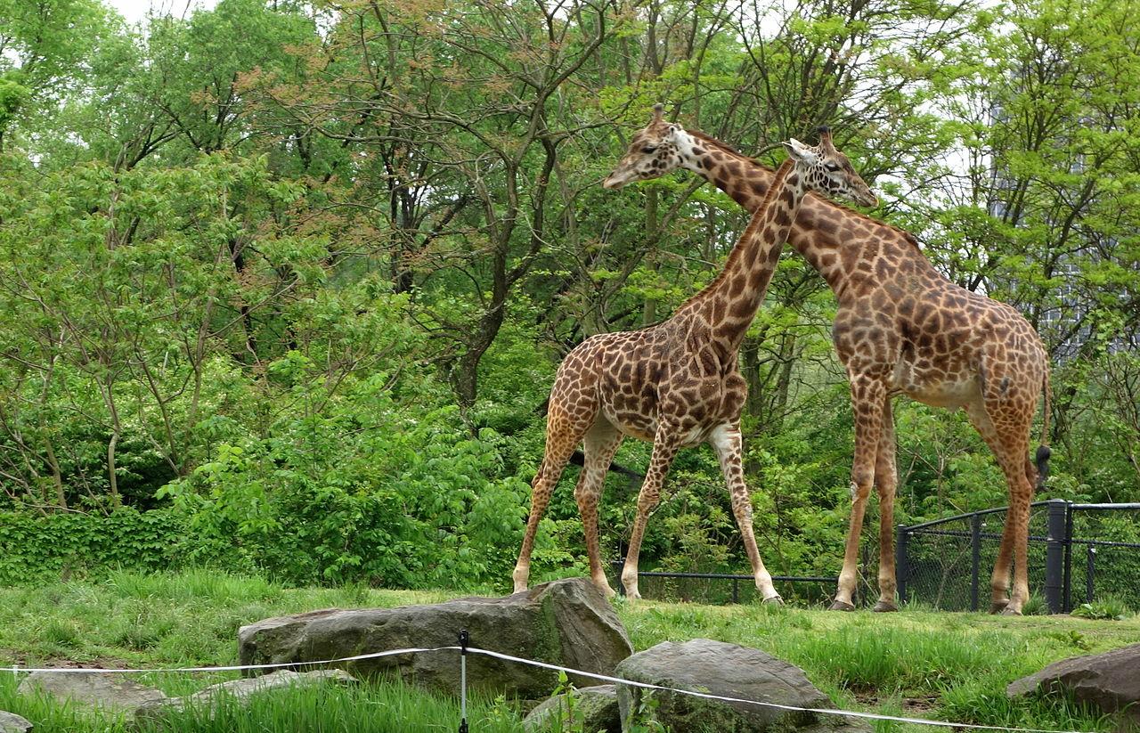 File Giraffes