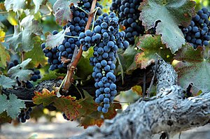 English: Old vine Shiraz / Lighter version Deu...
