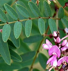 Indigofera australis  Wikipedia