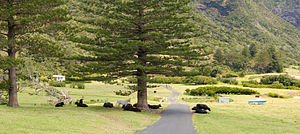 Cows and a horse at Lord Howe Island, Australia