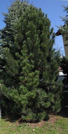 Specie Di Pinus Wikipedia