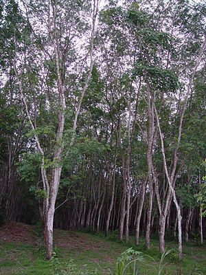 Rubber tree plantation in Phuket, Thailand