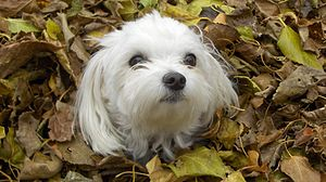 English: A Maltese enjoying the fall leaves wi...