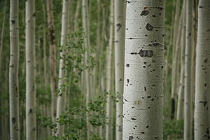 English: Aspen trees near Aspen, Colorado