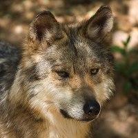 Der Wolf / Verbreitung und Variabilität