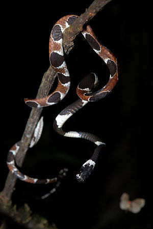 Ornate snail-eating snake (Dipsas catesbyi) in...