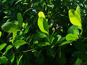 Erythroxylum coca, Erythroxylaceae, Coca, leav...
