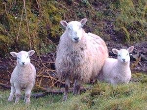 English: Ewe Plus Two