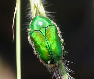 Chiloloba acuta- Green Scarab Beetle - in Herb...