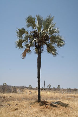 A Real fan palm in northern Namibia, locally k...