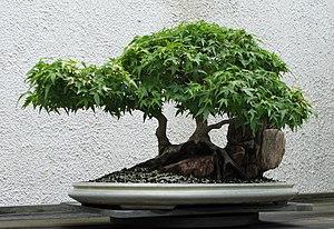 A Japanese Maple (Acer palmatum 'Kiyo-hime') b...