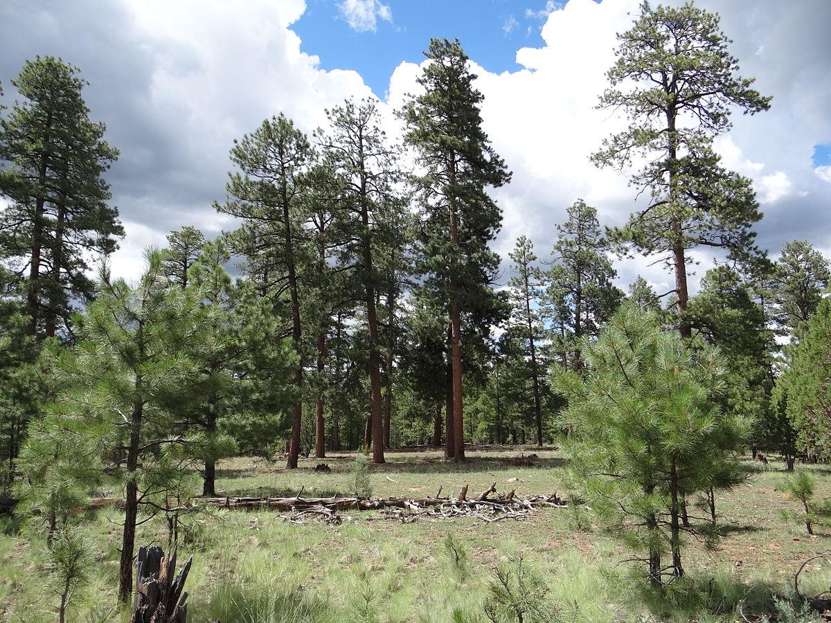 Ponderosa shrub forest  Wikipedia