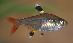 Pristella maxillaris taken by me user debivort...
