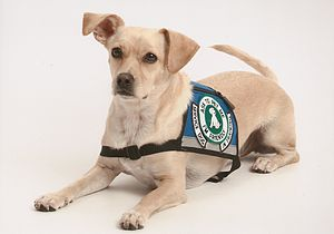 English: A Psychiatric Service Dog In Training
