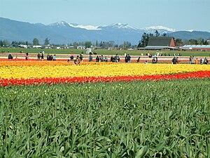 Skagit Valley Tulip Festival, 2006.