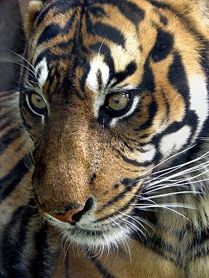 Sumatran tiger. Rework of original. Added dept...