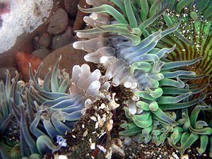 Sea Anemones,Anthopleura sola are engaged in a...