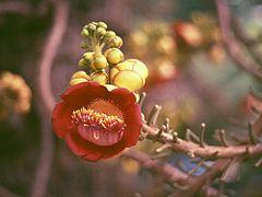 Bunga Couroupita guianensis