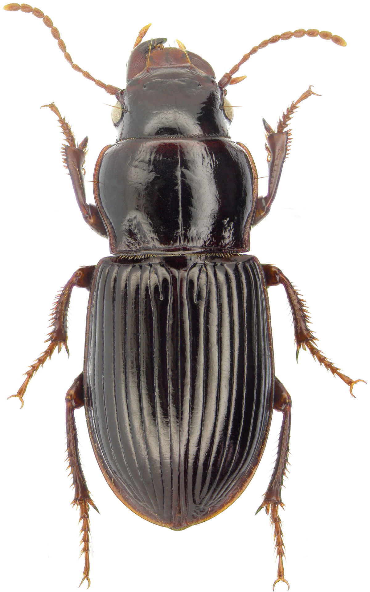 Insecta  Wikispecies