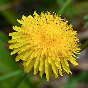 Common dandelion, a weed; this specimen found ...