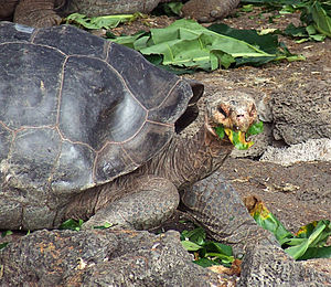English: Galapagos islands giant tortoise feeding