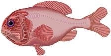 Atlantisk soldatfisk