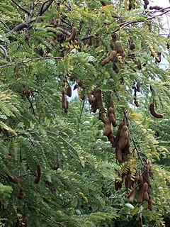 Buah asam jawa di pohonnya