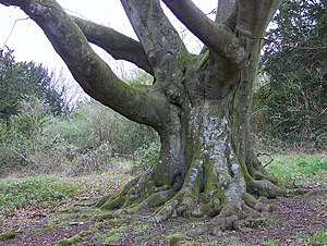 English: Venerable tree, Breamore Down This be...