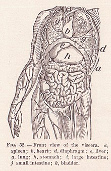 Functions Of The Spleen Include All Of Those Below Except : functions, spleen, include, those, below, except, Organ, (anatomy), Wikipedia