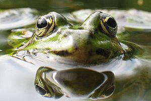Common Water Frog (Rana esculenta)