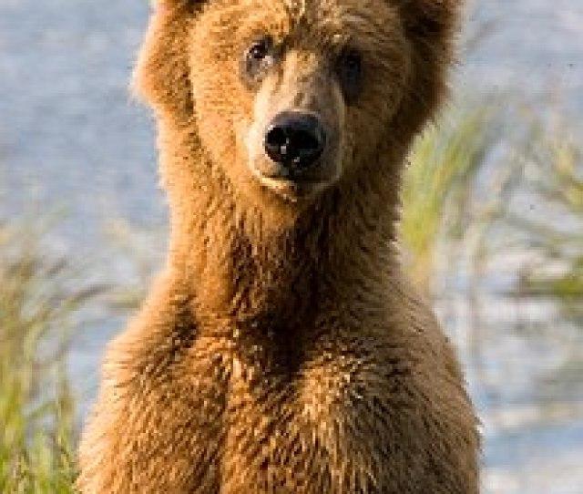 A Brown Bear Ursus Arctos Surveying The Landscape