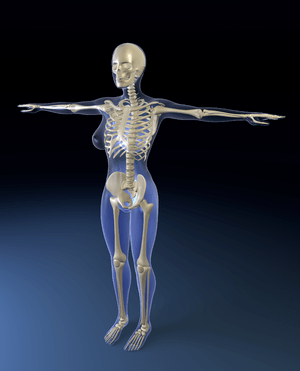 English: Human Skeleton Model. Deutsch: Modell...