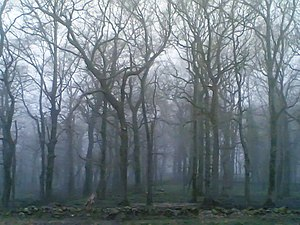 Foggy forest of oaks in Cantabria. In the lush...