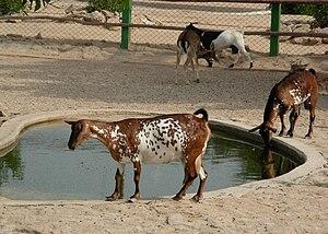 English: Goat