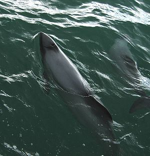 Hector's Dolphins swimming at Porpoise Bay, in...
