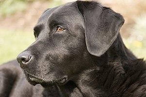 A female black Labrador Retriever named Ellis.