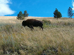 A bison roaming about at the National Bison Ra...