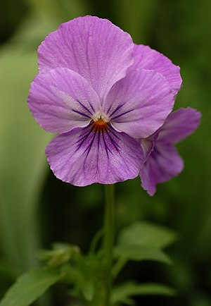 A Pansy exhibiting the flower's morphology: tw...