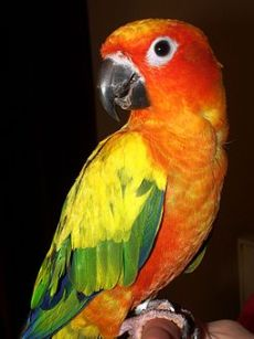 Sun Conure (Aratinga solstitialis) -pet on finger