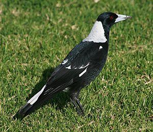 English: An Australian Magpie (Gymnorhina tibi...