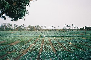 Bakau agriculture 1