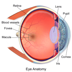 Canine Eye Diagram Spst Switch Wiring Macula Of Retina Wikipedia