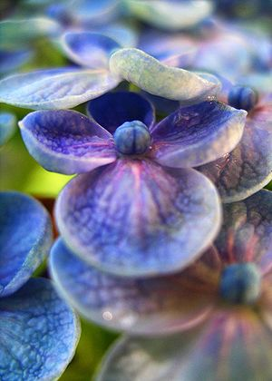 English: Closeup flower of round-petal blue Hy...