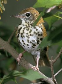 English: Wood Thrush (Hylocichla mustelina)