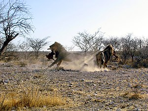 Male lions fight for the prey in the Etosha Na...