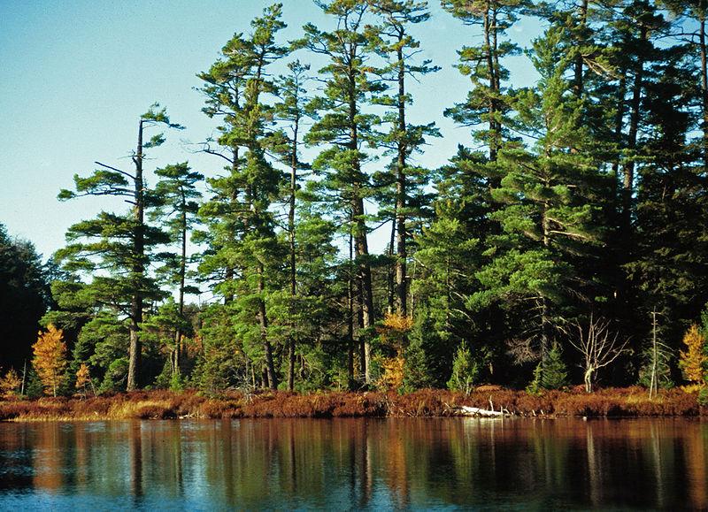 File:Pinus strobus Syvania.jpg