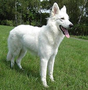 English: Canadian White Shepherd, 9 months Deu...